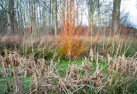 A bright orange tree grows at the edge of a swamp filled with aquatic plants in Shrewsbury, Shropshire, England. Archivio Fotografico - 120579850