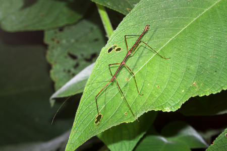 A stick insect (order Phasmatodea) on a leaf at night in Belize.