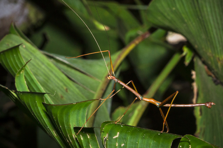 A stick insect (family Phylliidae) walking on a banana leaf at night in Tortuguero National Park, Costa Rica.