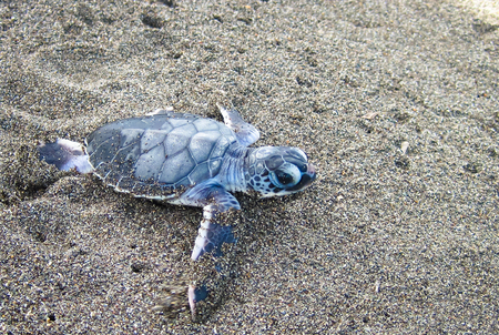 A baby green sea turtle (Chelonia mydas) crawling towards the ocean after emerging from its nest. Tortuguero National Park, Costa Rica. 写真素材 - 120579854