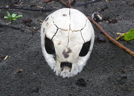 The skull of a green sea turtle (Chelonia mydas) that was killed by a jaguar while laying eggs on the beach. Tortuguero National Park, Costa Rica.