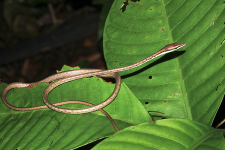A brown vine snake (Oxybelis aeneus) coiled up on a leaf at night in Tortuguero National Park, Costa Rica.