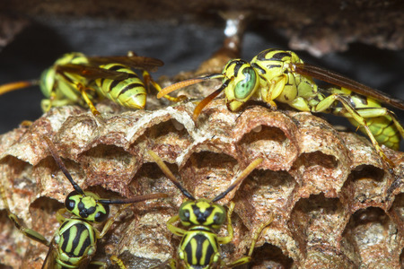 A colony of wasps builds a nest in Belize.