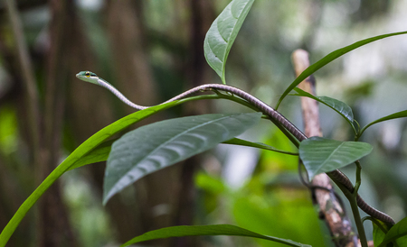 A satiny parrot snake (Leptophis ahaetulla) rests on jungle foliage. Tortuguero National Park, Costa Rica.