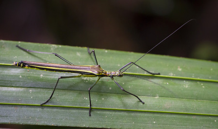 A flying stick insect (Anthericonia anketeschkei) walking on a leaf in Costa Rica. Stock Photo