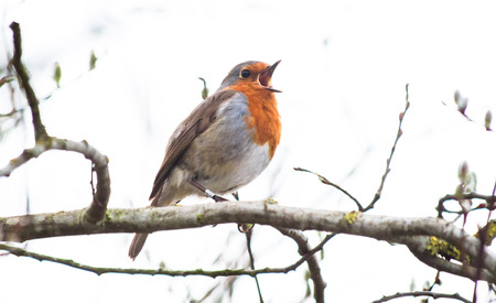 A European robin (Erithacus rubecula) sings while perched on a branch in Shropshire, England.