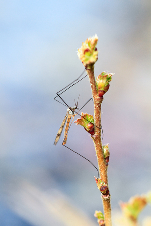 Crane fly on a plant stalk at Wem Moss, Shropshire, England.