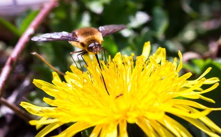 A dark-edged bee fly (Bomylius major) feeds from a dandelion flower at Wem Moss in Shropshire, England.