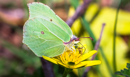 Brimstone butterfly (Gonepteryx rhamni) feeding from a yellow flower at Wem Moss in Shropshire, England.