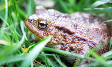 Common toad (Bufo bufo) hides in tall grass at Whixall Moss in Shropshire, England. Stock fotó