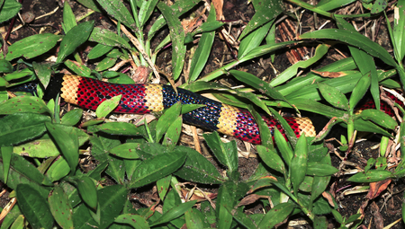 A central american coral snake (Micrurus nigrocinctus) crawls through the grass in the Costa Rican jungle. Stock Photo