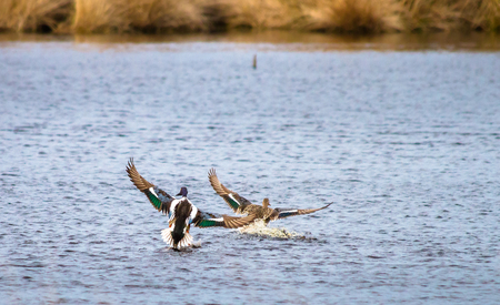 A male and female northern shoveler (Anas clypeata) land in a pond at Whixall Moss in Shropshire, England.
