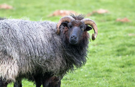 A black-haired sheep with long horns stands in a grassy field at Venus Pool in Shropshire, England.