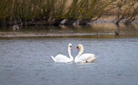 A pair of mute swans (Cygnus olor) swims together on Venus Pool in Shropshire, England. Archivio Fotografico - 120580405
