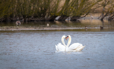 A pair of mute swans (Cygnus olor) swims together on Venus Pool in Shropshire, England. 写真素材 - 120580407