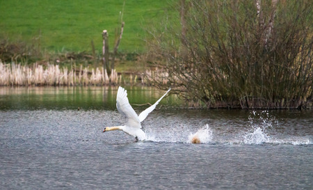 A mute swan (Cygnus olor) takes off from Venus Pool in Shropshire, England. 免版税图像