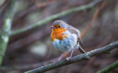 A European robin (Erithacus rubecula) perches on a branch in Shropshire, England.