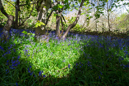Patches of sunlight illuminate a field of bluebells (Hyacinthoides non-scripta) during spring in a forested area of Shrewsbury, Shropshire, England.