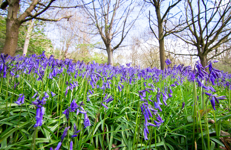 Large patches of bluebells (Hyacinthoides non-scripta) emerge during spring in a forested area of Shrewsbury, Shropshire, England.
