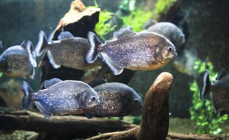 Piranhas at the National Aquarium in Napier, New Zealand. 写真素材 - 120581633