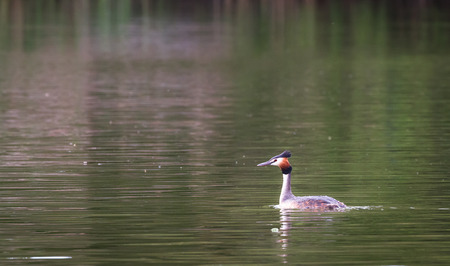 An adult great crested grebe (Podiceps cristatus) swimming in a pond at the Wood Lane Nature Reserve in Shropshire, England. Stock fotó