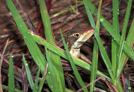 A striped basilisk (Basiliscus vittatus) hides among the grass at night in Belize.