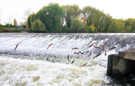 El salmón del Atlántico (Salmo salar) salta del agua en Shrewsbury Weir en el río Severn en un intento de moverse río arriba para desovar. Shropshire, Inglaterra. Foto de archivo