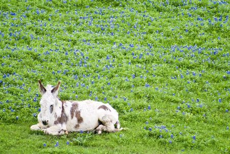 burro: A burro, with long white hair and brown markings, resting sleepily in a field full of bluebonnet flowers. Stock Photo