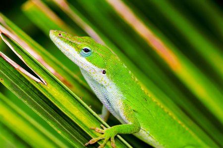 underbelly: A tiny anole lizard carefully poised on a green palm leaf.