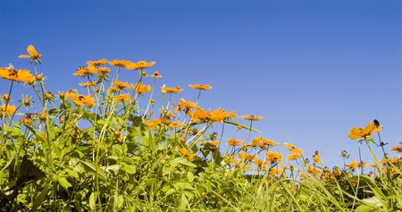 unkept: A bunch of orange and yellow wild flowers against a bright blue cloudless sky.  Stock Photo