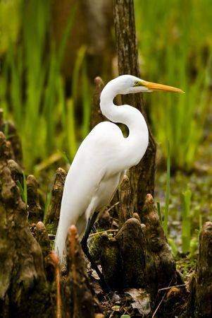 curved leg: Snowy Egret with a beautiful S curve in its neck standing amongst the cypress knees on the bank of a swamp.
