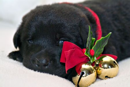 pooches: Cute sleepy puppy wearing bells with red ribbon