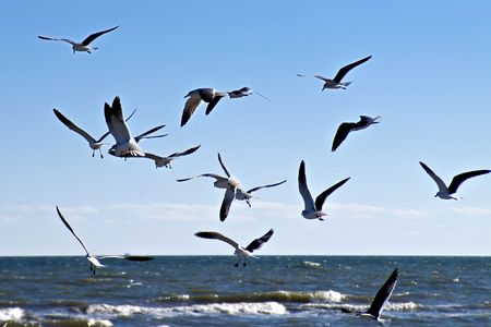 flocking: Seagulls competing for food in-flight.
