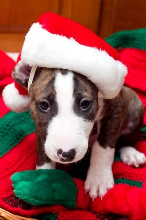 Puppy with Santa hat on Christmas blanket Stock Photo
