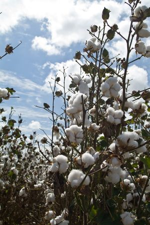 Cotton bolls ready for harvest taken against a bright blue sky filled with white fluffy clouds.