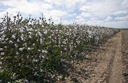 A sky full of white puffy clouds over a field of white cotton plants ready to be harvested.  Stock Photo