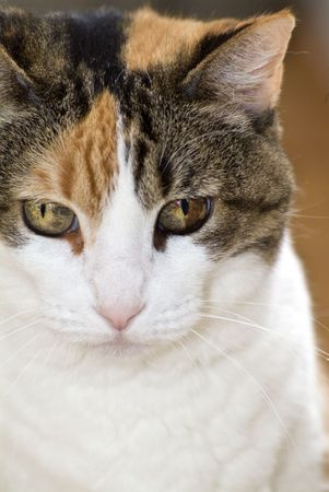 calico whiskers: A Calico cat staring calmly at the camera.