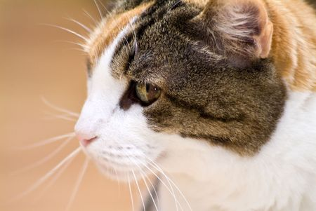 calico whiskers: The profile of a large Calico cat.