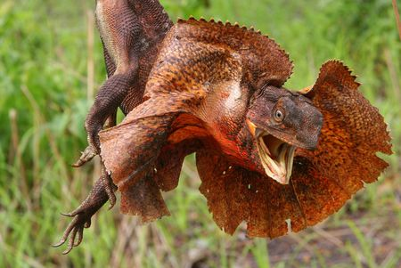 Frilled Lizard, Kakadu National park, Australia photo