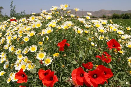 Red poppies and white and yellow daisies, Naxos,Greece Stock Photo - 3318009