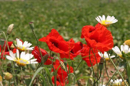 Red poppies and white - yellow daisies, Naxos,Greece Stock Photo - 3330124