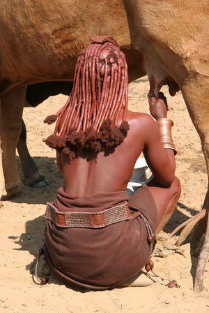 melker: Himba vrouw is een koe melken, Himba dorp, Namibië
