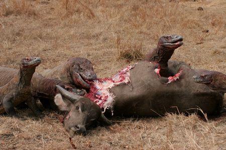 komodo: Komodo draghi mangiare bufalo selvatico, Rinca Island, Indonesia  Archivio Fotografico
