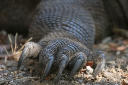 komodo: Komodo dragons ,Komodo Island, Indonesia