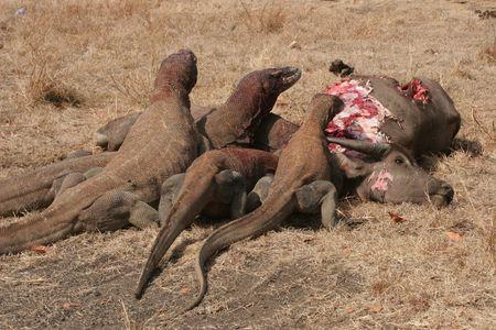 komodo: Komodo dragons eating wild buffalo, Rinca Island, Indonesia Stock Photo
