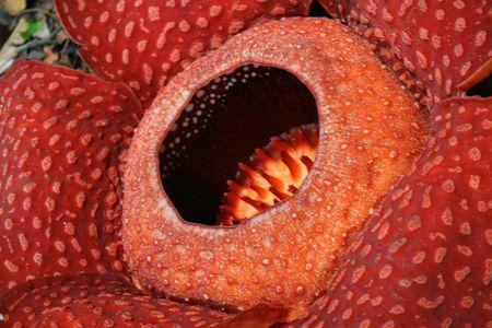 putrid: Rafflesia, the biggest flower in the world ,  Borneo, Malaysia Stock Photo