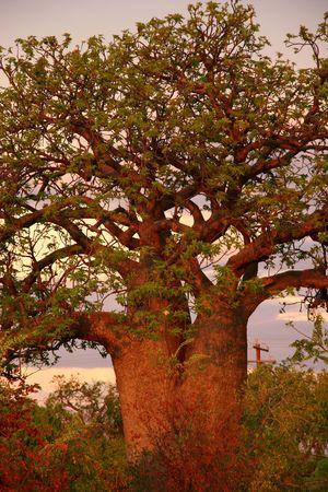 adansonia: Boab tree, Kimberly, Australia Stock Photo