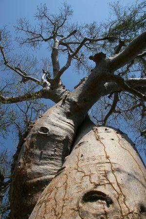adansonia: Avenue de Baobab, Adansonia madagascariensis, Madagascar