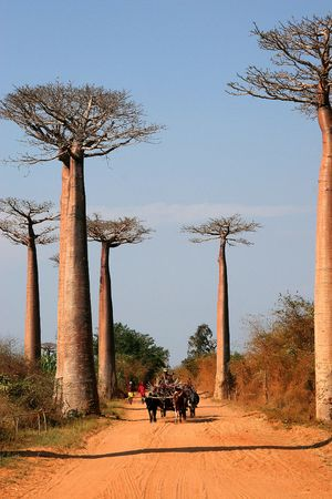 Avenue de Baobab, Adansonia madagascariensis, Madagascar Stock Photo - 3519600