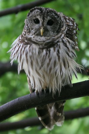 barred: Barred Owl ,Virginia, USA